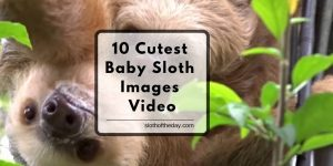 10 Cute Baby Sloth Images Video From Social Media Sites