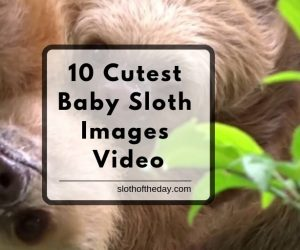 10 Cute Baby Sloth Images Video From Social Media