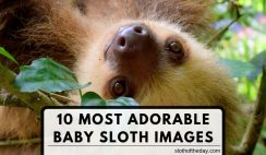 10 Most Adorable Baby Sloth Pictures To Share Online