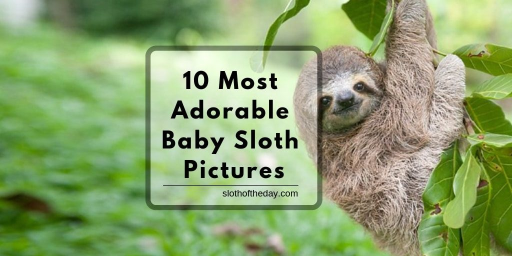 10 Most Adorable Baby Sloth Pictures To Share Online Today