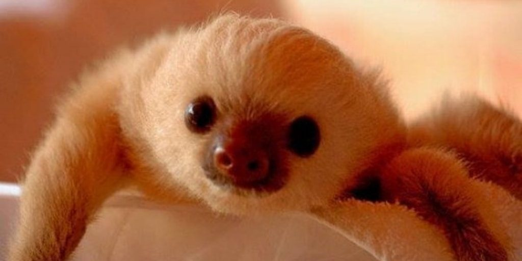 Adorable White Baby Sloth - Baby Sloth Pictures Online