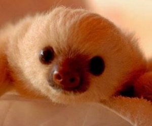 Cute Adorable White Baby Sloth Image