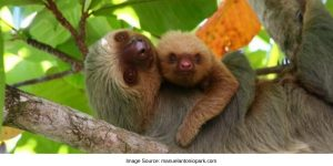 Baby Sloth And Mom at Manuel Antonio National Park