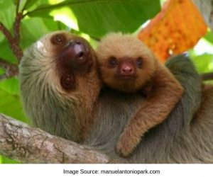 Baby Sloth and Mom Image at Manuel Antonio Park