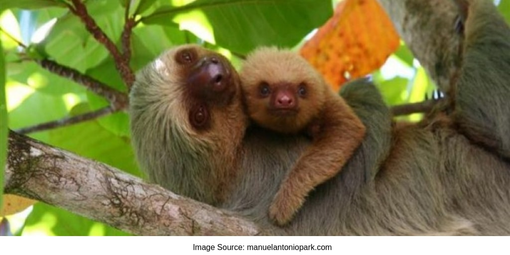 Baby Sloth And Mom at Manuel Antonio National Park
