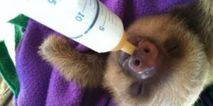 Baby Sloth Drinking From a Bottle Image - 10 nicest Baby Sloth Pictures From Around The Web