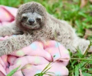 Cutest Baby Sloth On a Blanket Image On Grass