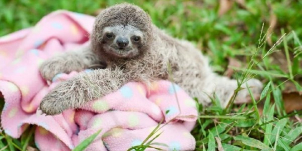 Baby Sloth On a Blanket Image Social Media Sloth Images