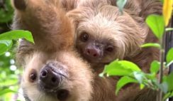 Baby Sloth With Mom Image