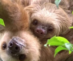 Simply Adorable Baby Sloth With Mom Image