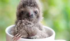 Baby Sloth in a Cup Picture - 10 Nice Baby Sloth Pictures From Around The Web