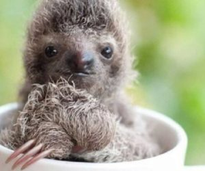 Adorable Baby Sloth in a Cup Image