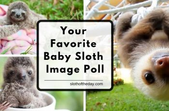 Choose Your Favorite Baby Sloth Image Poll