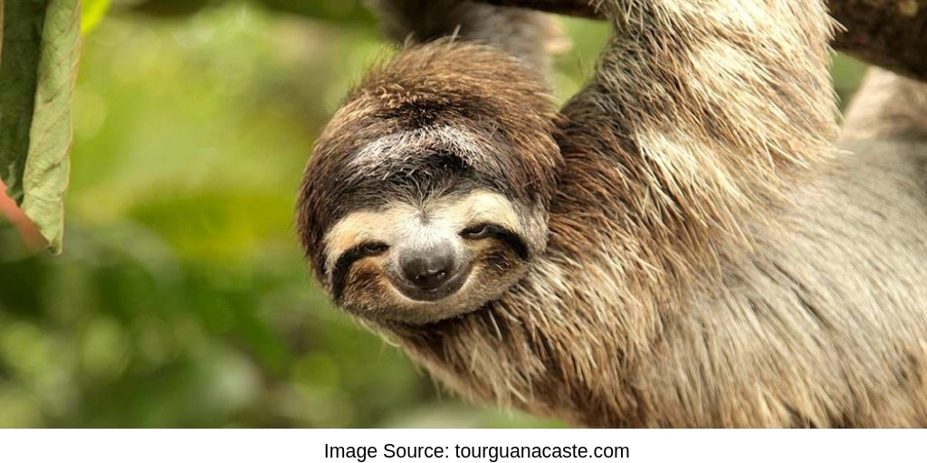 Cute Sloth Hanging From Tree at a Sloth Sanctuary