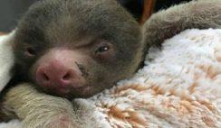 Grumpy Baby Sloth Image Social Media Sloth Images