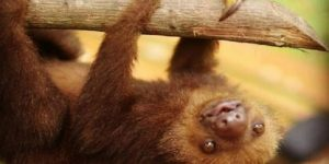 3 Toed Sloth Baby Just Hanging Around Image - Pictures of Sloths