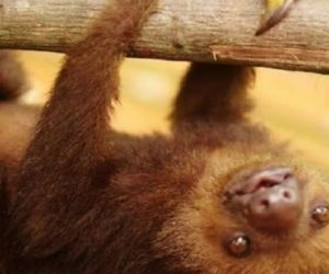 3 Toed Sloth Baby Just Hanging Around Image