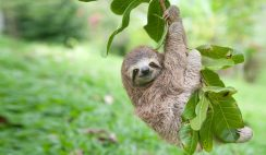 Sloth Baby On A Branch Picture Baby Sloth Images