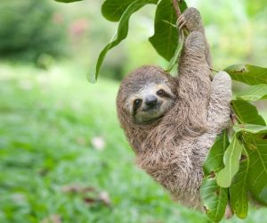 Sloth Baby Hanging On A Branch Outside