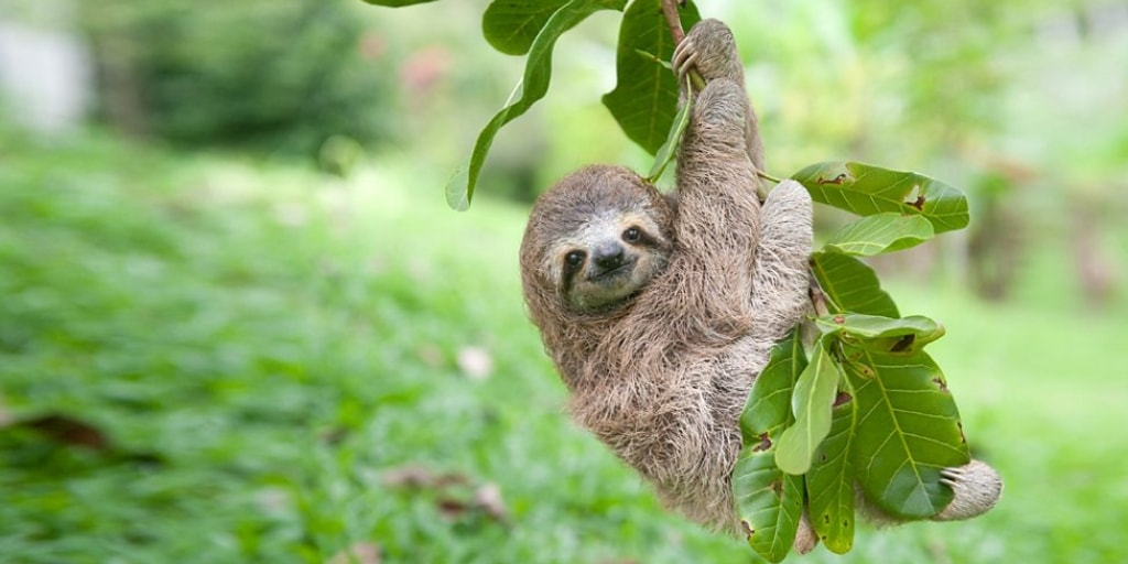Sloth Baby Hanging On A Branch Outside Sloth Of The Day