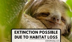 Sloth Habitat Loss Could Cause Sloth Extinction Loss