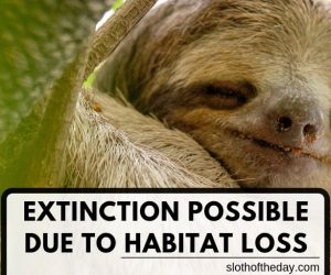Sloth Habitat Loss Could Cause Sloth Extinction