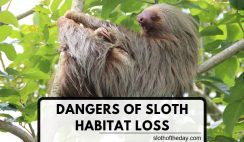 The Dangers of Sloth Habitat Loss