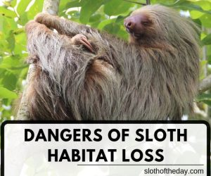 What are The Dangers of Sloth Habitat Loss?