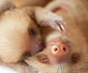 Two Newborn Baby Sloths Hugging Each Other