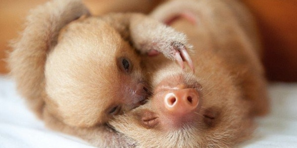 Two Baby Sloths Hugging Image - 10 Most Adorable Baby Sloth Pictures From Around The Web