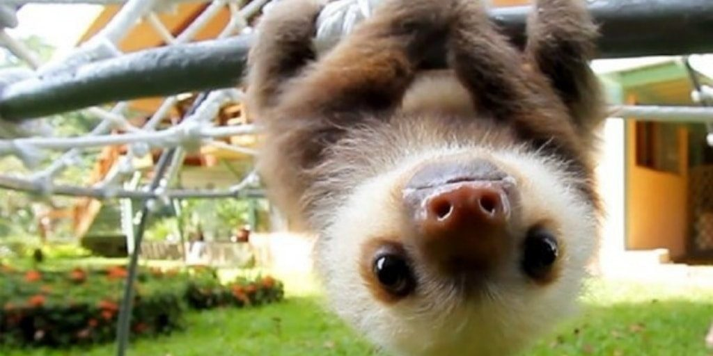 Upside Down Baby Sloth Pictures - Images of Sloth From Social Media