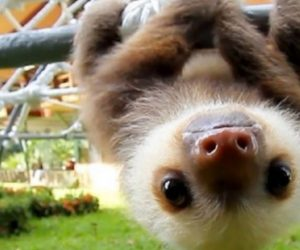 Upside Down Baby Sloth Images From The Web