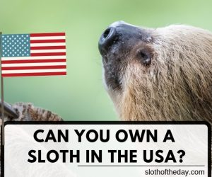 Can A Sloth Lover Own A Sloth in The USA?