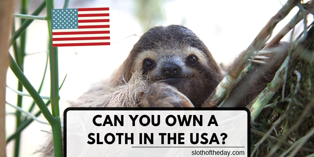 CAN YOU OWN A SLOTH IN THE USA