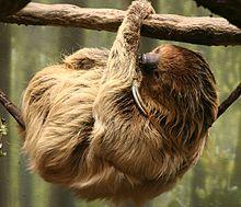 Linnaeus Sloth