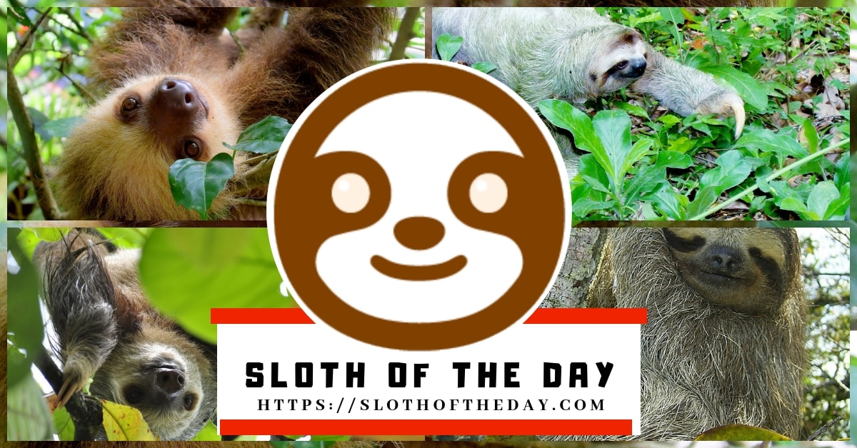 About Sloth of The Day Talks About Sloths Sloth On Sloth Lovers