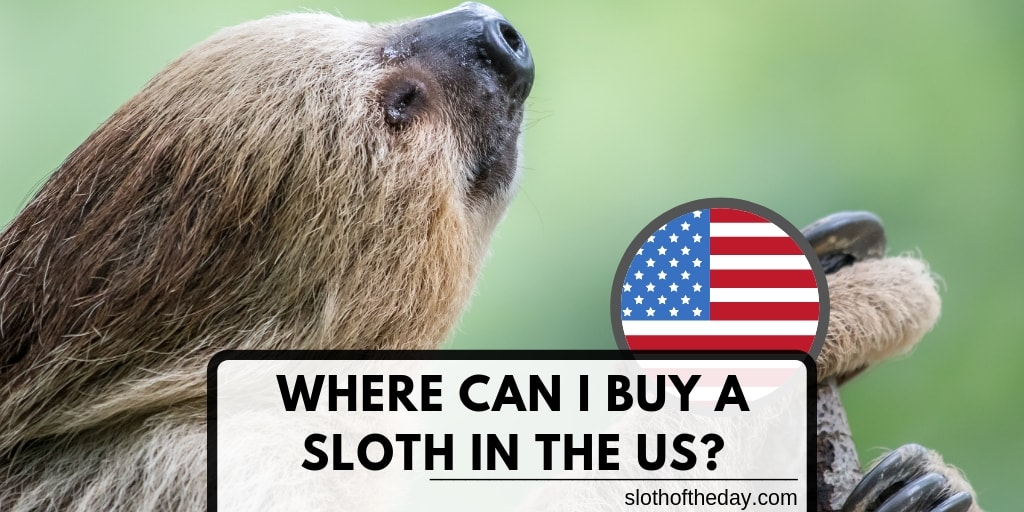 Where Can I Purchase a Sloth in the US