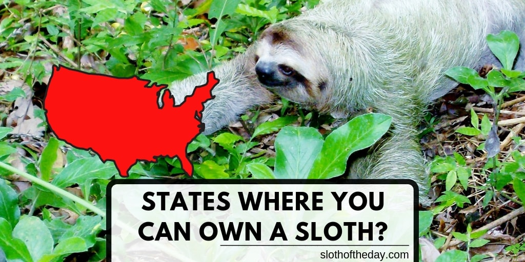 Which USA States Can You Own a Sloth