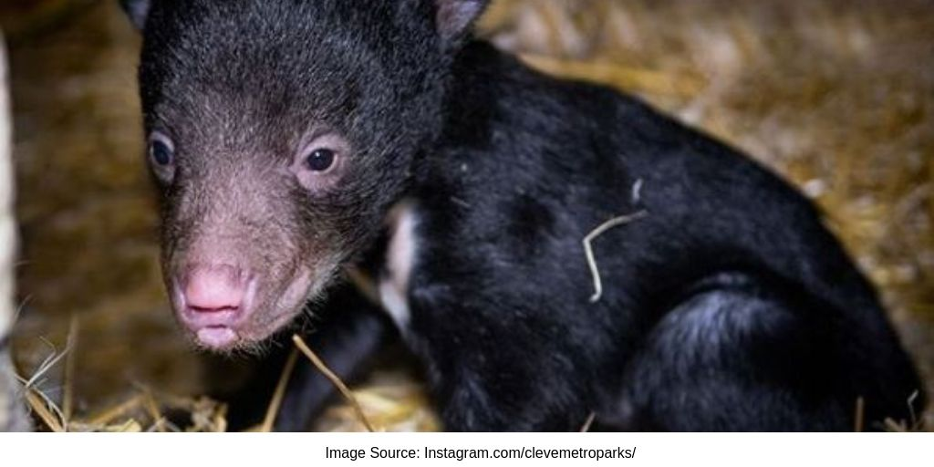 Cleveland New Sloth Baby Bear Finally Named Image