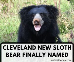 Cleveland New Sloth Baby Bear Finally Named