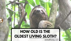 How Old is The Oldest Living Sloth Today When is a Sloth Old How Old Can Sloths Live