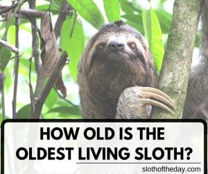 How Old is The Oldest Living Sloth in The World?