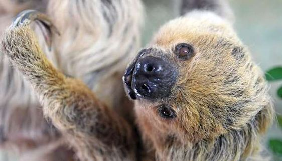Paula The Oldest Living Sloth Today