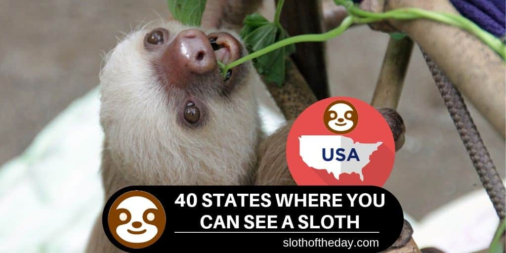 40 States Where Can You See a Sloth in The United States Hold a Sloth