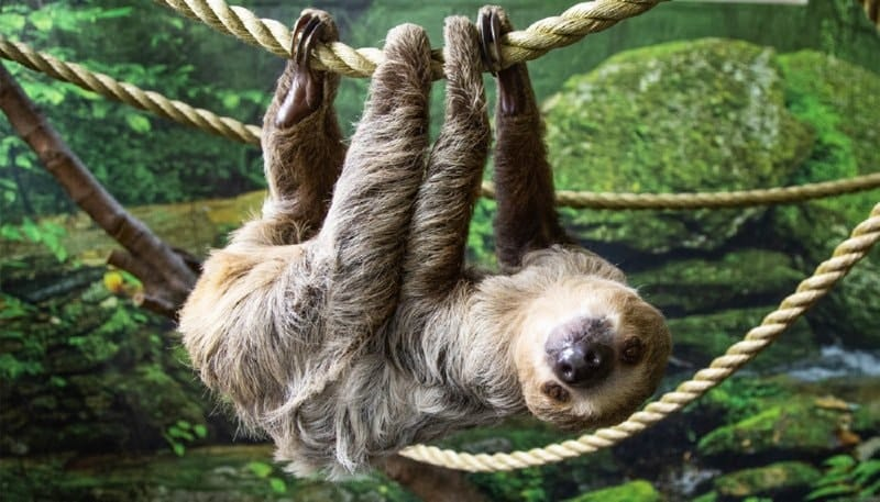 Chewbacca the Two-Toed Sloth - Kansas Zoo Experience - Does the Kansas City Zoo have Sloths