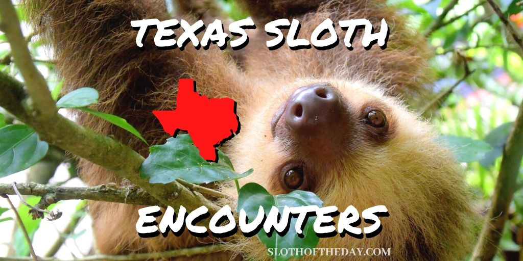 Sloth Experience In Texas Sloth of The Day