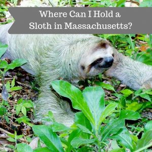 Where Can I Hold a Sloth in Massachusetts