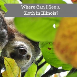 Where Can I See a Sloth in Illinois