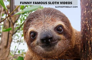 Hilarious Sloth Videos and Tidbits to Make You Smile Sloth of The Day