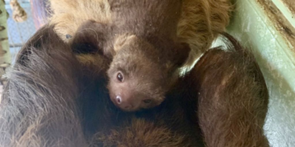 Little Baby Sloths Born in the USA